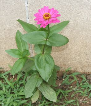 zinnia at wall